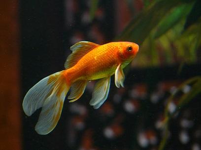 zlatna-ribka