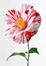 kitaiska roza