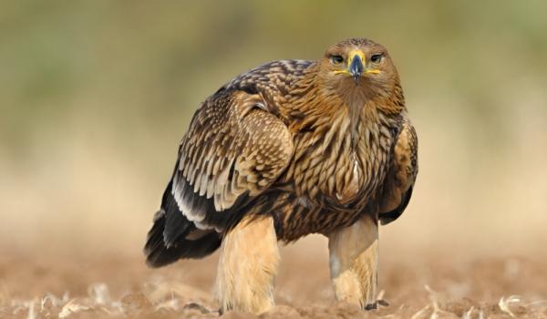 Царски орел