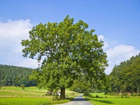 оксен дърво широколистни дървета – Be my guide оксен дърво